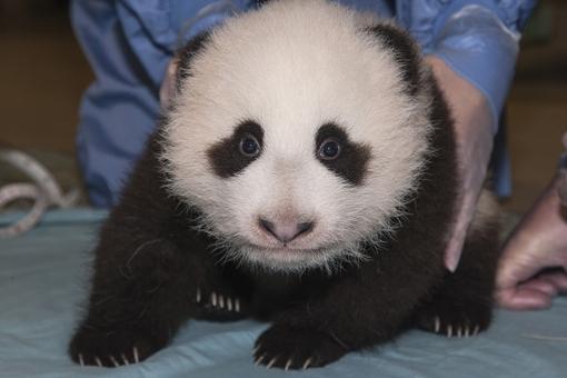 San-Diego Giant Panda cub
